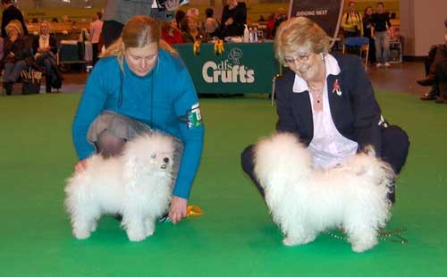 bolognese dog at crufts 2010